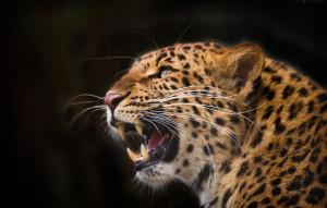 леопард клиенты